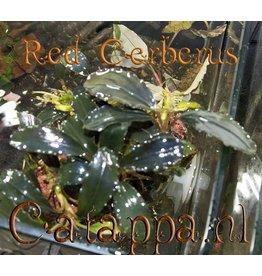 Catappa.nl Bucephalandra Red Cerberus