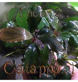 Catappa.nl Bucephalandra Theia 2