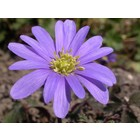 Oosterse anemoon (Anemone blanda 'Bleu Shades')