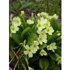 Stengelloze sleutelbloem (Primula vulgaris)