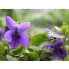 Maarts viooltje 'Königin Charlotte' (Viola odorata)