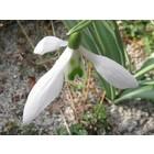 Galanthus 'Imbolc'