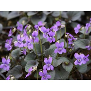 Viola labradorica purpurea