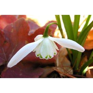 Galanthus 'Lady Beatrix Stanley'. (syn. Galanthus caucasicus dubbel)