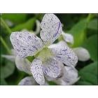 Gespikkeld viooltje (Viola sororia 'Freckles)