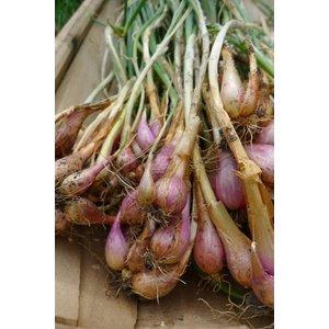Allium fistulosum (utrechtse uitjes of Sint-jansui, eetbaar)