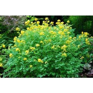 Corydalis lutea (Gele Helmbloem)