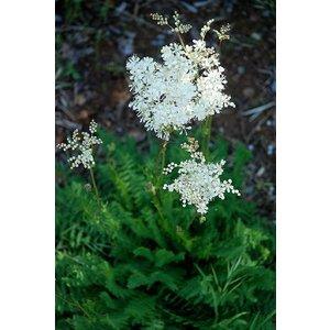 Filipendula vulgaris (Knolspirea)