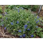 Smalbladig longkruid, blauwbloeiend (Pulmonaria longifolia)