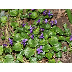 Viola odorata (maarts viooltje)
