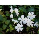 Witte kleine maagdenpalm (Vinca minor alba)