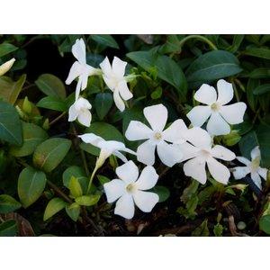 Vinca minor alba (Witte kleine maagdenpalm)