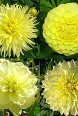 4 Stück gelbe Dahlien