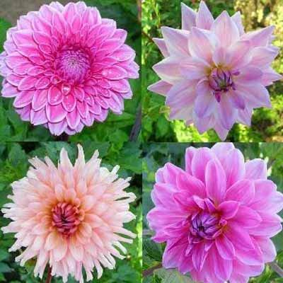 4 Stück rosa Dahlien