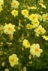 4 Stück Yellow Sneezy