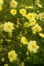 Yellow Sneezy