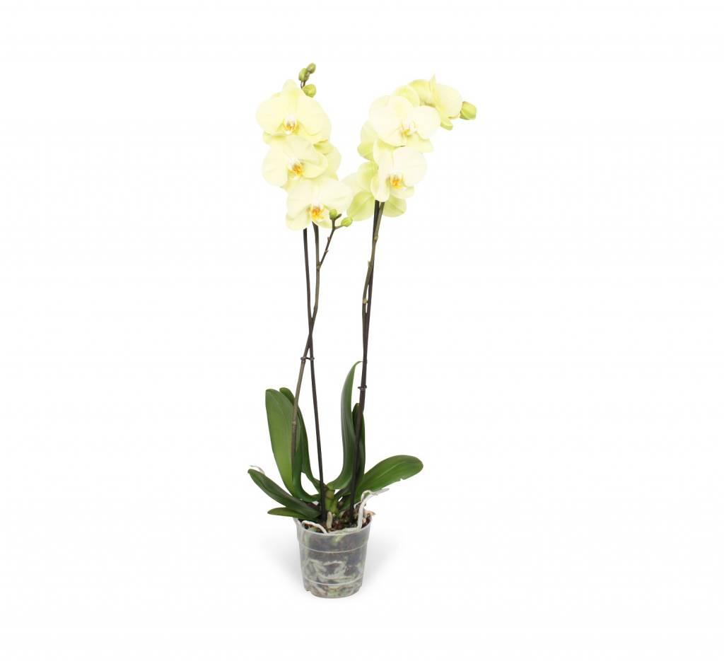 Phalaenopsis Yara Geel