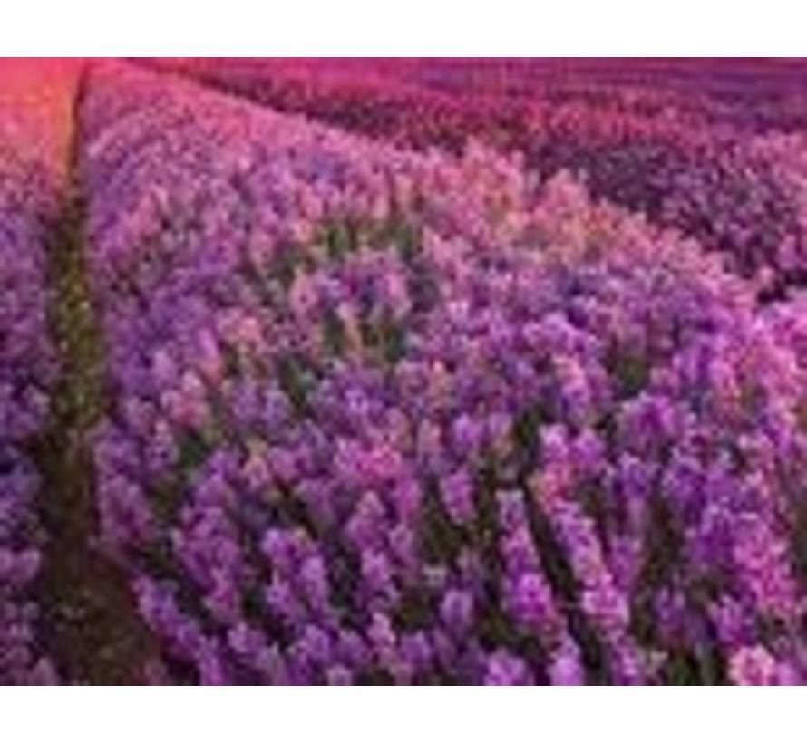 Lavendel poeder, 100% natuurlijk