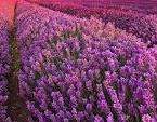 B. B. Cosmetics Lavendel poeder, 100% natuurlijk