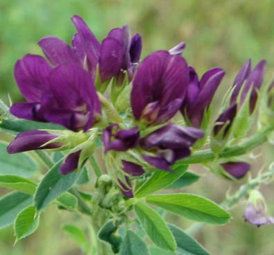alfalfa chlorofyl