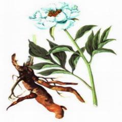 Radix Paeoniae alba