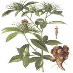 Rhizoma Atractylodis macrocephalae
