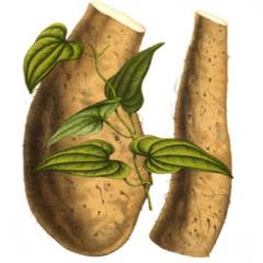 Rhizoma Dioscoreae