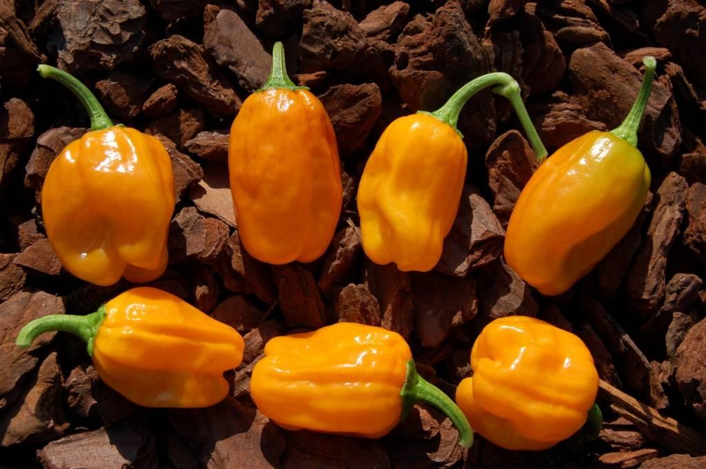 Habanero Orange Devil