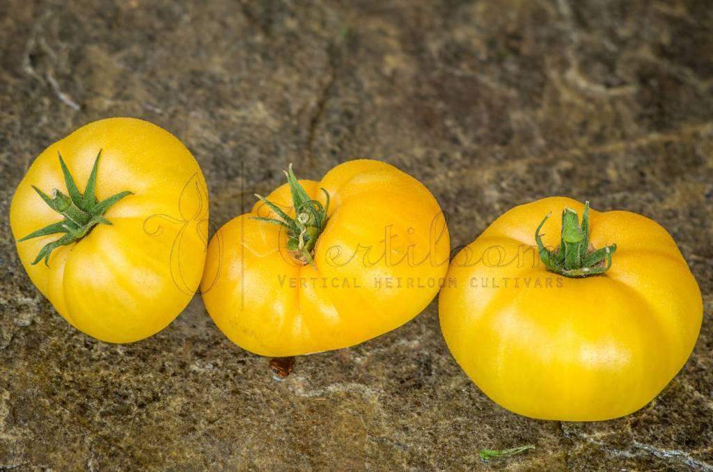 Dwarf Orange Cream