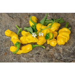 Yellow Peter Pepper