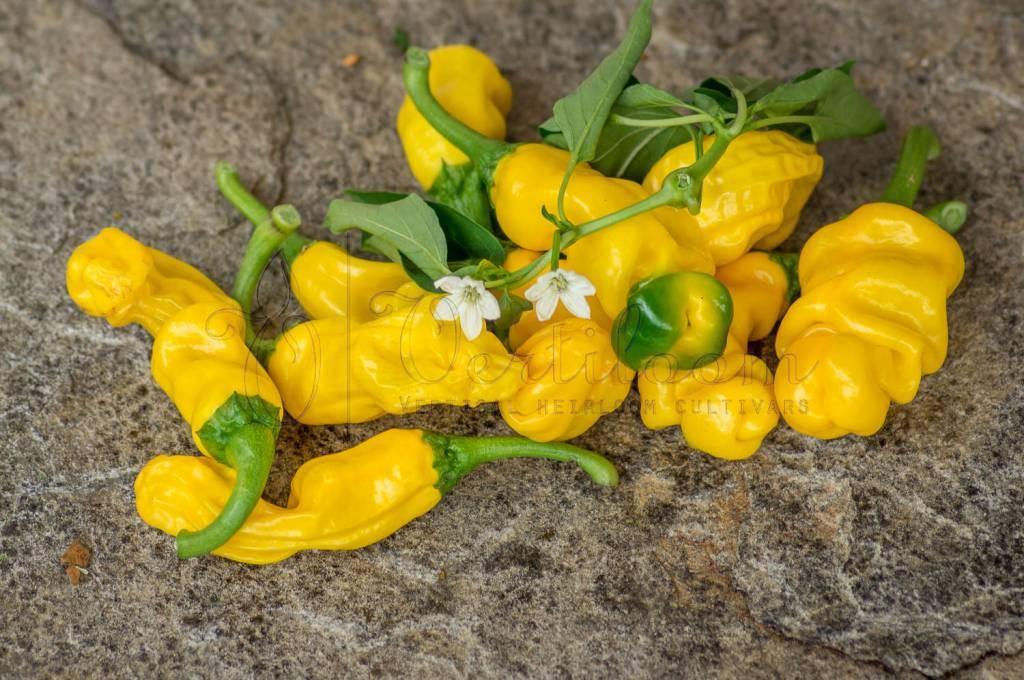 Yellow Peter Pepper