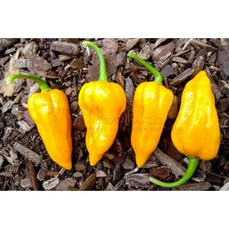 Dorset Naga Orange