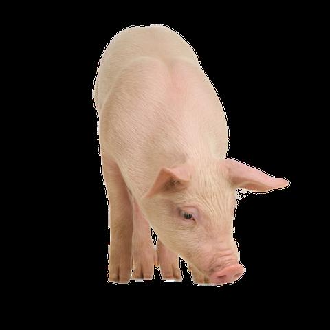 Alle Producten voor u varken vindt u hier