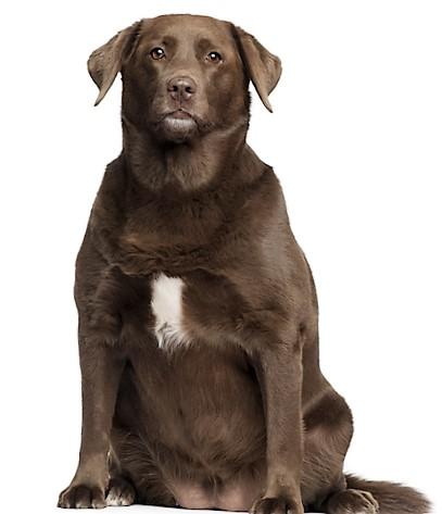 Hond met overgewicht