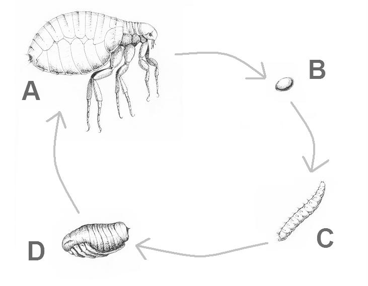 De levenscyclus van de vlo