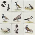 Dieren - Tieren - animals RH1-Kievit