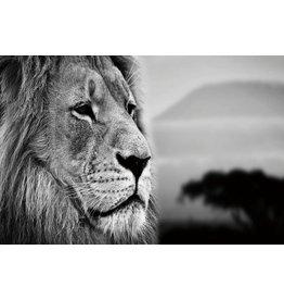 Glasschilderij 80x120cm Lion
