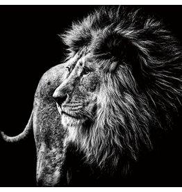 Foto op glasschilderij Lion 100x100cm