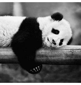 Dibond schilderij 74x74cm Panda liggend