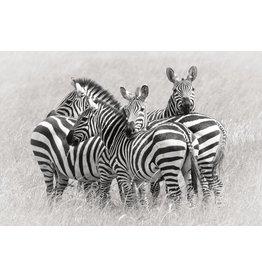 MondiArt Glas schilderij Kudde Zebra's 80x120cm