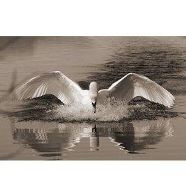 MondiArt Dibond Malerei Swan 80x120cm