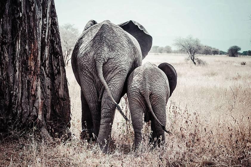 Aluminium schilderij olifant met kalf 80x120cm eliassen for Schilderij olifant