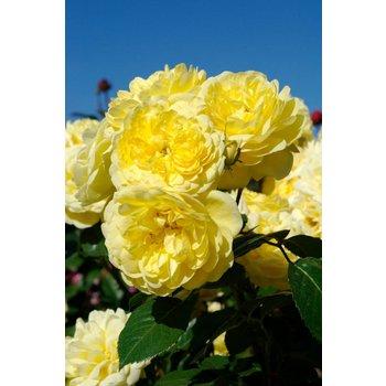 Rosa Yellow Meilove®