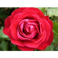 Rosa Red Meilove® - Stamhoogte 60 cm