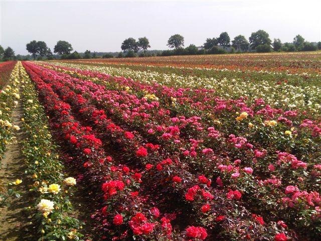 Rode rozen