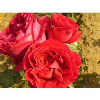 Rosa Red Eden Rose® Eric Tabarly