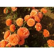 Rosa Orange Meilove® - Stammhöhe 60 cm