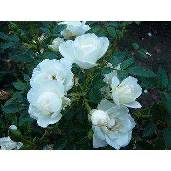 Rosa  CRISTAL FAIRY® kopen? Al vanaf €3,95 bij Seurosa! ✓ Rozen uit eigen kwekerij ✓ gratis verzending vanaf €50,-. Bestel nu online bij Seurosa.nl!