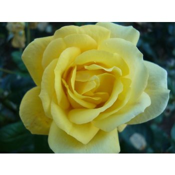 Rosa Arthur Bell