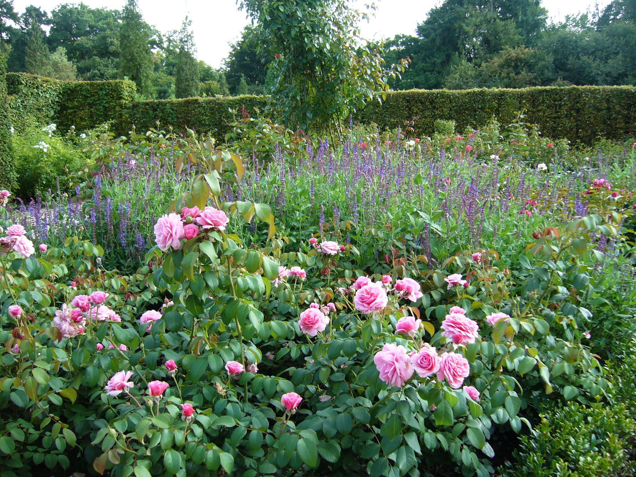 Roze rozen in tuin